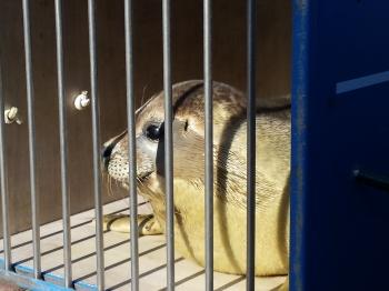 Zeehonden uitzetten Ecomare
